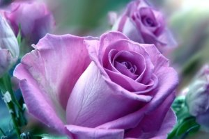 download free violet rose wallpapers 2560x1600 samsung galaxy